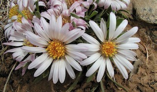 Easter daisy flowers